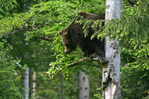 HS_Bär im Baum