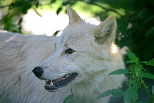 HS_Polarwolf