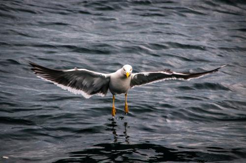 Man sieht ein großer Vogel, der auf dem Wasser landet