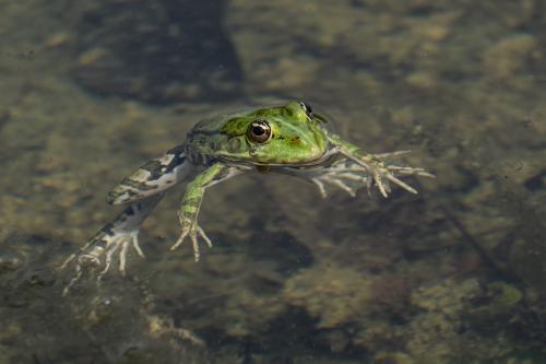 Das ist ein Frosch, der auf dem Wasser treibt und scheinbar sich nicht bewegt.