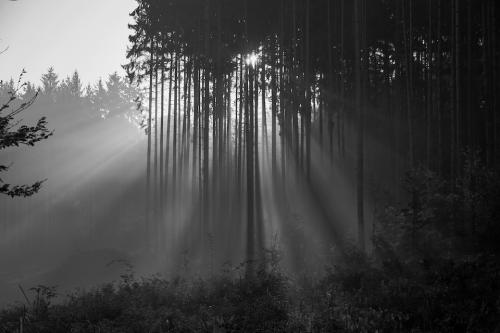 man sieht Wald in schwarz weis, in dem das Licht durchscheint