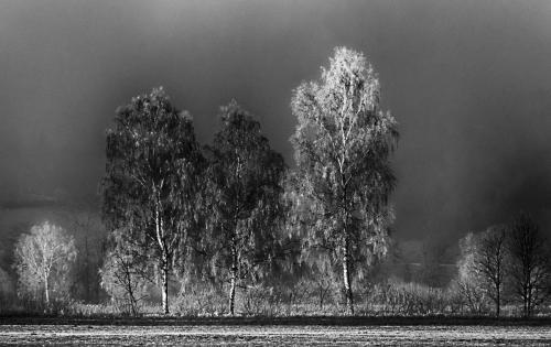 3 weiße Birken mit Raureif überzogen 01 sw hdr small