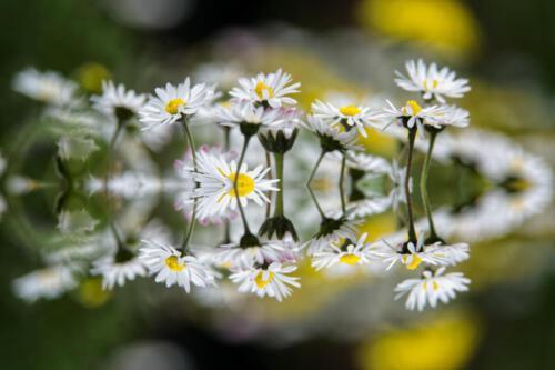 HvS Massliebchenkaleidoskop
