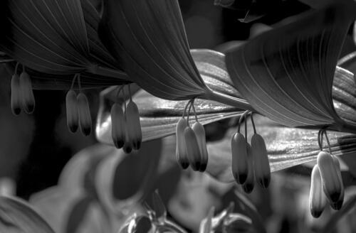 Die Blüten des Salomonsiegels sind noch geschlossen. Bild in SW.