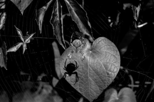 Blick auf eine Spinne, mit rundem Körpe, un desen Schatten auf einem Blatt.