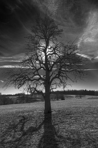 einzelner Baum 01 ndr sw